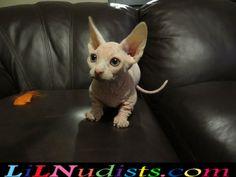 Bambino boy kitten