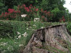 Information On How To Get Rid Of Tree Stumps - While trees are a natural part of the landscape, they may sometimes require removal for whatever reason. Once removed, homeowners are often left with nothing more than an unsightly stump. However, with a little know how, you can find an easy way to remove tree stumps that will have your landscape looking as nice as it did before.