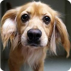 12/10/14 Rancho Santa Fe, CA - Cavalier King Charles Spaniel Mix. Meet Red, a dog for adoption. http://www.adoptapet.com/pet/12067770-rancho-santa-fe-california-cavalier-king-charles-spaniel-mix