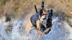 The explosive-sniffing dog was strapped to an assault team member of the Navy Seals most prestigious outfit, Seal Team Six, as they fast roped from Black Hawk helicopters into bin Laden's hideout in the town of Abbottabad, Pakistan. Seal Team 6, Team 7, Team Member, Military Working Dogs, Military Dogs, Police Dogs, Military Service, War Dogs, My Champion