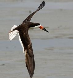 "Black Skimmer Flight by Christine Fusco ~ ""Jersey Strong"" on Flickr.  iainyork"