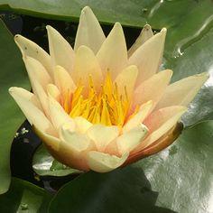 NYMPHAEA 'Paul Hariot' (Nénuphar) : Plante rhizomateuse à feuilles rondes, flottantes et produisant des fleurs d'aspect varié particulièrement décoratives. Convient bien à la décoration des bassins. Plantez les dans une terre limoneuse, riche et dans une profondeur d'eau comprise généralement entre 30 et 100 cm. Feuillage vert. Fleurs jaune et cuivre. Étamines jaune d'or. Parfumé. Prof. d'eau : 40 à 60 cm.
