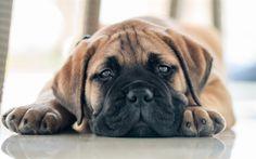 Lataa kuva Bullmastiffi, pentu, pieni koira, lemmikit, söpöjä eläimiä, koirat Small Puppies, Small Dogs, Dogs And Puppies, Chiens Bull Mastiff, Jack Russel, Bullen, Pet Dogs, Pets, Loyal Dogs