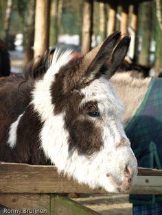 Courtesy: Vereniging het Nederlands Ezelstamboek, BJ WASSENAAR (NEDERLAND). Donkey