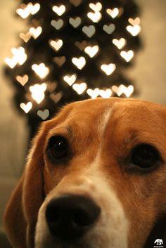 #Beagle #love