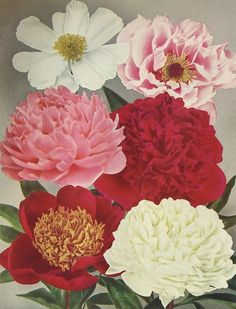 vintage peony with gray