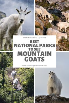 You can see native mountain goats in these American national parks.