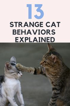 13 Strange Cat Behaviors Explained : As a responsible cat owner you need to understand your baby kitten and to be able to transmit to him your messages. I Love Cats, Crazy Cats, Cute Cats, Funny Cats, Baby Kittens, Cats And Kittens, Feeding Kittens, Kittens Cutest, Cat Behavior Problems