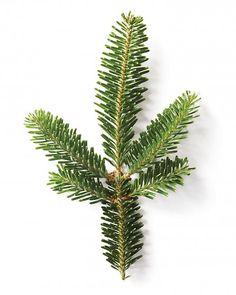 Image result for fraser fir branch