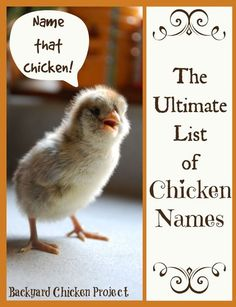 Finding the perfect chicken names for your flock can be quite the process. We've attempted to make it a bit easier for you by compiling all the best chicken names in one place! Chickens in the backyard Raising Backyard Chickens, Keeping Chickens, Backyard Farming, Pet Chickens, Names For Chickens, Urban Chickens, Bantam Chickens, Rabbits, Chicken Coup