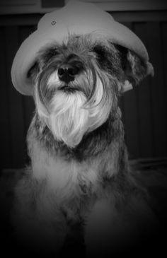 Miniature Schnauzer Majken by Mac Link's Kennel