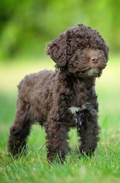 Lagotto, 8 weeks.. | by Linus Englund on 500px