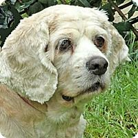 08/15/16 SL~~~05/15/16-SENIOR! SPECIAL NEEDS! Cocker Spaniel Dog for adoption in Downey, California - Ginger ho is 10yrs. old has a cataract in o e eye & also has skin & ear allergies so special food & medication is needed. She needs to be an only dog as she wants all of the attention of her family.