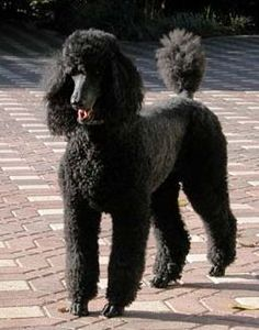 Looks almost exactly like my Poodle when I get him back from the groomer!
