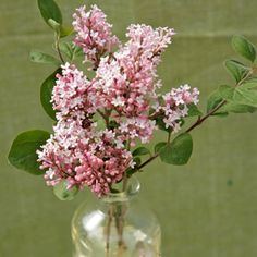 I THINK this is my lilac, called Tinkerbell, it's smaller, more like a bush with flowers a bright pink that have a more spicier scent.