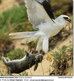 Black-shouldered Kite carrying prey away