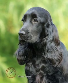 English Cocker Spaniel ~ Classic Cocker Look & Trim