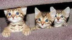 Bengal Kittens! Love those eyes...