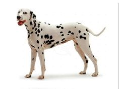 Dalmation Dog Breed - Things to Know - http://www.doggietalent.com/posts/dalmation-dog-breed-things-to-know/