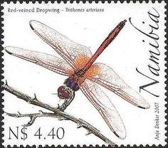 Red-veined Dropwing (Trithemis arteriosa)