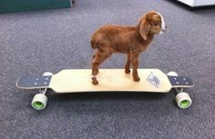 baby goat! on a skateboard!