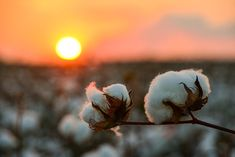 Cotton Bolls on Jordan Farms in Carter, MS. I took this shot a couple of weeks ago while standing in a cotton field waiting on the Harvest Moon to rise. Cotton Field Photography, Cotton Plantations, Cotton Bouquet, Mississippi Delta, Cotton Pictures, Cotton Fields, Down South, Perfect Gift For Mom, New Image