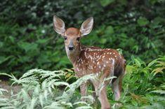 Wisconsin State Wildlife Animal - White-tailed Deer