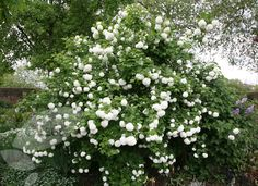 snowball tree, viburnum opulus 'roseum'. Have to have in the 'white garden'. Saw them today at chester zoo and they looked beautiful. Will look perfect agains dark grey fence.