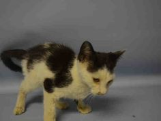 """BILLY - A1050886 - - Manhattan  **TO BE DESTROYED 09/15/15** Check him out! BEGINNER-rated BILLY """"makes biscuts against cage door while standing on back legs, meowing gently"""" but the ACC have decided he's not adoptable—-seriously? All this guy needs is some vet care for the shelter cold any anything else which strikes a competent vet as worthy of attention, and then 14-week-old BILLY should be good to go! He's young, he's as friendly as t"""