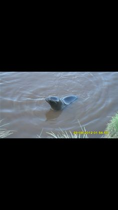 One of the seals having a swim on our tour at Dunedin