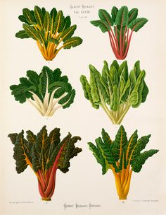 A Chromolithograph plate of chard varieties taken from the Album Benary. The Album contains 28 colour plates in total of vegetable varieties by Ernst Benary which are named in the accompanying page in German, English, French and Russian.     Creator  Benary, Ernst (1819-1893)     Date  1876