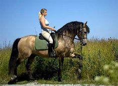 Show Horse Gallery - Lusiadas, Lusitano