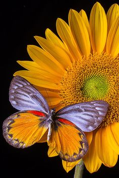 Sunflower With Gray Orange Butterfly. Plant a Butterfly Bush or more to help feed these beauties! Papillon Butterfly, Orange Butterfly, Butterfly Kisses, Butterfly Flowers, Butterfly Print, Flying Flowers, Butterfly Bush, Flowers Garden, Beautiful Bugs