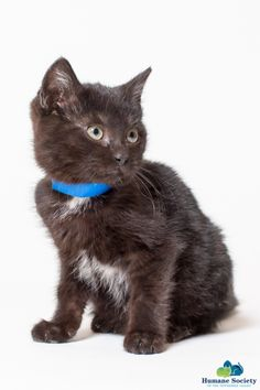 Edward is a laid back baby boy ready for his furrever home.All of our cats are spayed/neutered, microchipped and tested for Feline Leukemia/FIV.  They are also up to date on vaccinations, deworming, and flea preventive. For more information please...