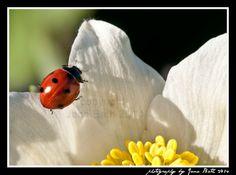 Germany, Deutschland, ladybug, Marienkäfer, photography by Jana Bath 2014, http://www.foto-bath.de