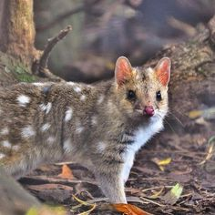 A nocturnal species, the eastern quoll shelters in a den by day, usually in an underground burrow, fallen log or rock pile. The eastern quoll is mainly terrestrial, moving across the ground with a bounding gait and only occasionally climbing.