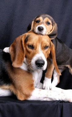 Beagle Mom and pup