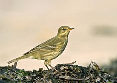 "Rock Pipit Anthus spinoletta ""The mountains or the ocean"""