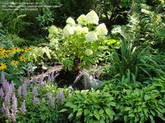 Tree Form Hydrangea For Small Shaddy Gardens Kim S