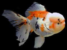 Oranda (Goldfish) So Cute..looks like the fish I had for 6 years,not the color but size/