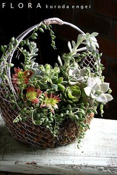 Succulents in large wire basket