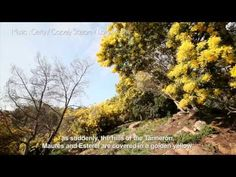 The Golden Mimosa, A Tree that Flowers in the Middle of Winter | L'OCCITANE en Provence | United States