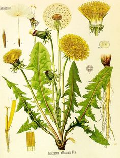 """herbalhealing: Dandelion (Taraxacum officinale) Volumes could be written on the many uses of dandelion - indeed they have been! This common weed is often hated and poisoned by those preferring a """"weed. Vintage Botanical Prints, Botanical Drawings, Botanical Art, House Illustration, Botanical Illustration, Illustrations, Dandelion Uses, Impressions Botaniques, Taraxacum Officinale"""