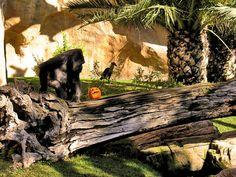 Halloween (stuffed pumpkin with fruits and nuts), Western Lowland Gorilla at the Bioparc Fuengirola, Malaga. (Source Facebook of Bioparc Fuengirola)