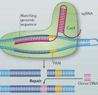 CRISPR–Cas: extraordinary editing