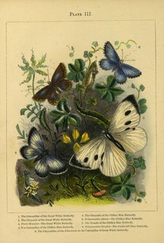 The butterfly vivarium; or, Insect home: being . Guinea Pig Toys, Guinea Pig Care, Butterfly Frame, White Butterfly, Vintage Butterfly, Vintage Flowers, Chalk Hill, Insect Tattoo, Paludarium