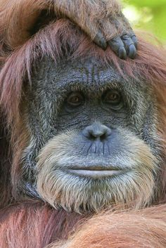 Female Orangutan. Sweet face.