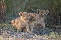A trio of curious lion cubs photographed in the Okavango Delta, Botswana by photographic safari guide & host Grant Atkinson Lion And Lioness, Lion Cub, Majestic Animals, Animals Beautiful, World Lion Day, Baby Animals, Cute Animals, Leo, African Animals