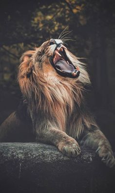 587 best beautiful lion images in 2019 Lion Images, Lion Pictures, Daily Pictures, Funny Pictures, Beautiful Lion, Animals Beautiful, Animals And Pets, Cute Animals, Angry Animals