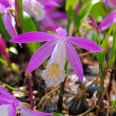 Pleione formosana - formschöne Tibetorchidee als Zimmerpflanze. Einfach die Zwiebeln in eine Schale pflanzen, erhältlich im Onlineshop www.fluwel.de